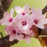 cherry plum2